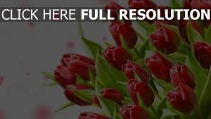 tulpen rot blume blumenblätter knospen