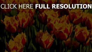 tulpen zweifarbige terry blütenblätter hell