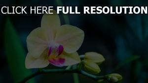blütenblätter blume orchidee knospe