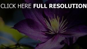 blütenblätter blumen klematis knospen
