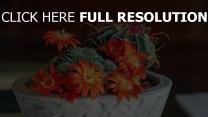 zimmerpflanze succulents mammillaria kaktus