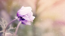 knospe anemone anemonastrum blume unschärfe