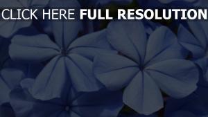 blau blumen close-up