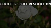 stiel blüte rose knospe