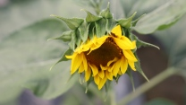 unschärfe blütenblätter sonnenblumen knospe