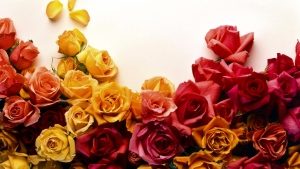 rosen knospen bunt gelb rot rosa
