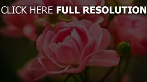 rosa blumen rosen knospen