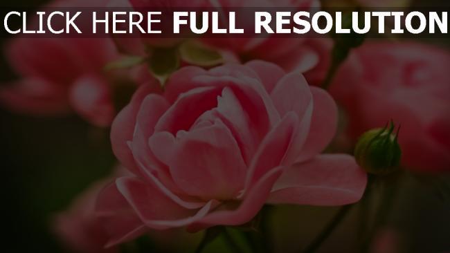 hd hintergrundbilder rosa blumen rosen knospen