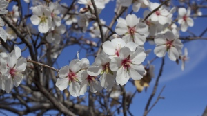 frühling blühen blumen mandelbaum