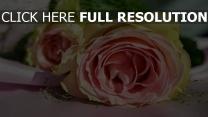 rosa knospe rose blütenblätter