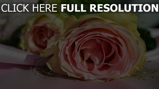 hd hintergrundbilder rosa knospe rose blütenblätter