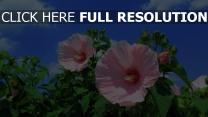hibiskus rosa stängel blätter garten