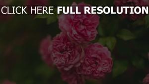 busch rosa rose blume