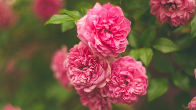 hd hintergrundbilder busch rosa rose blume