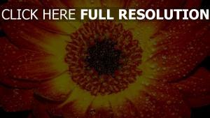 orange blütenblatt blume tropfen