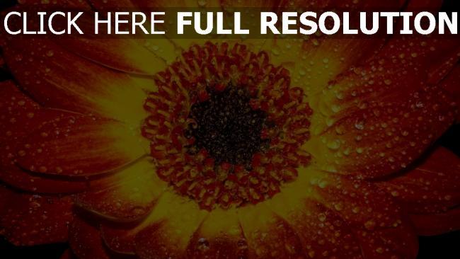 hd hintergrundbilder orange blütenblatt blume tropfen