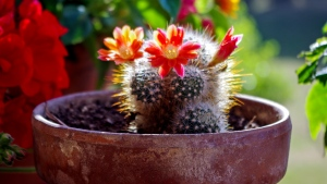 blüte kaktus sukkulenten blume
