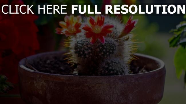 hd hintergrundbilder blüte kaktus sukkulenten blume