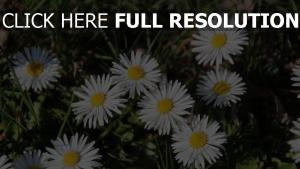 pflanzen blumen gänseblümchen gras sommer schatten