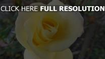 blütenblätter blume rose knospe