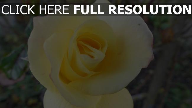 hd hintergrundbilder blütenblätter blume rose knospe