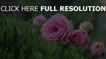strauß blumen rosen knospen