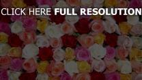 rosen knospen viele mehrfarbig blütenblätter