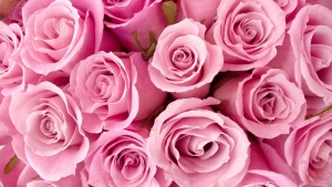 rosen rosa viele schöne knospe