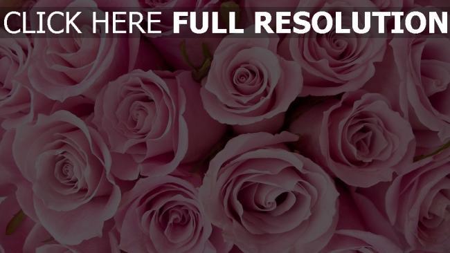 hd hintergrundbilder rosen rosa viele schöne knospe