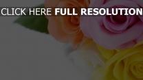 rose knospen rosa orange gelb close-up