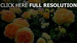 rose blüte üppigen büsche pfirsichfarben