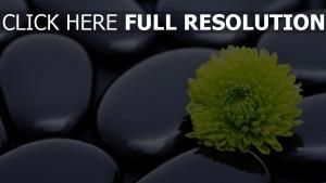 chrysantheme blume blütenblätter steine abgerundet