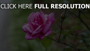 rose rosa zweig knospe unschärfe