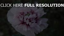 close-up blütenblätter blume