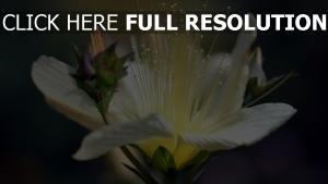 knospe blütenblätter weiß blume