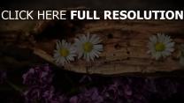 flieder gänseblümchen rinde blumen