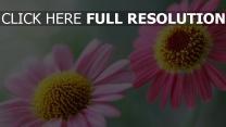 blütenblätter zwei pollen blumen