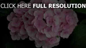 close up blätter rosa hortensie