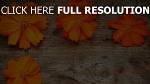 blütenblätter oberfläche orange kosmeya holz