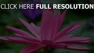 blütenblätter rosa blume lotus