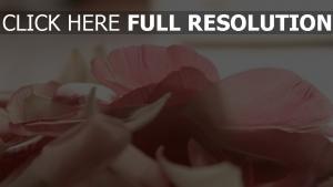 close-up hellrosa blütenblätter