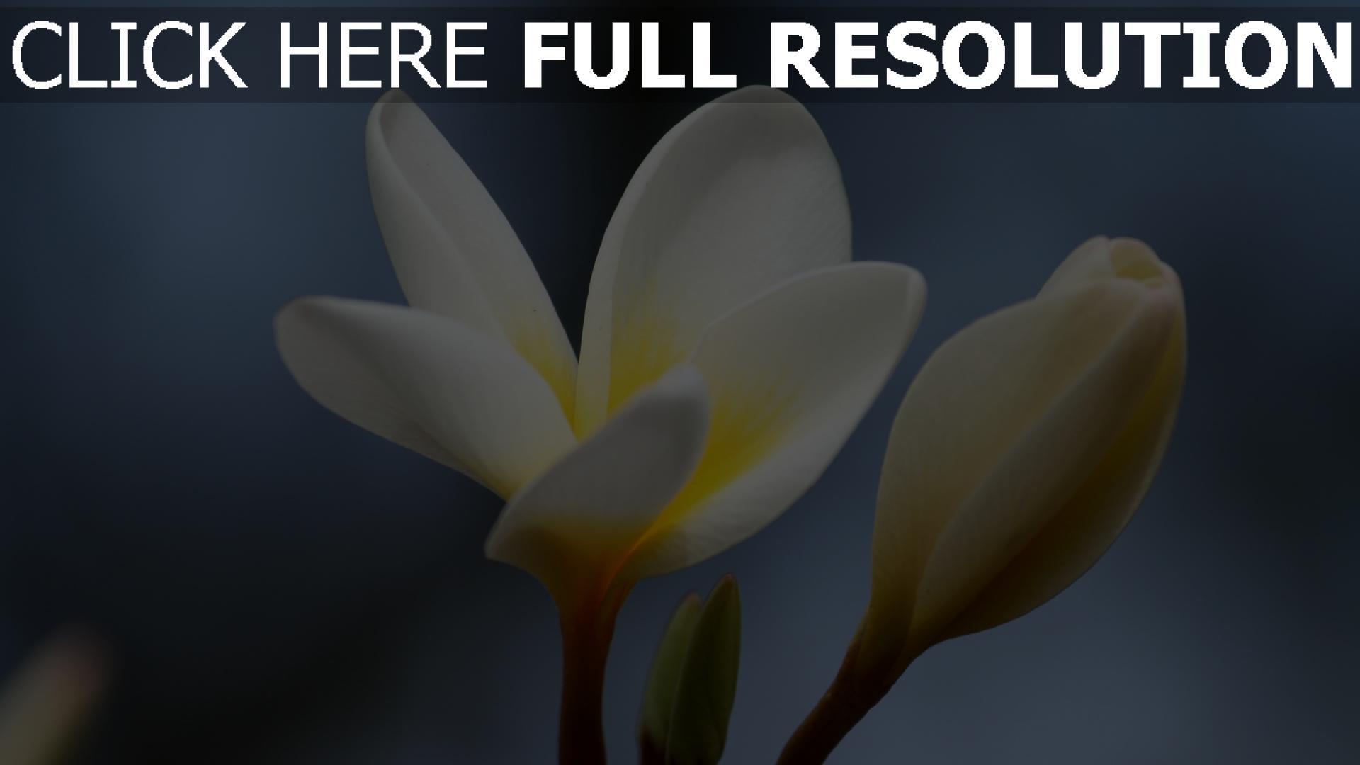 Herunterladen 1920x1080 Full Hd Hintergrundbilder Knospe Nahaufnahme Blume Plumeria 1080p