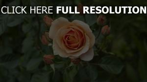 knospe blütenblätter filiale rose
