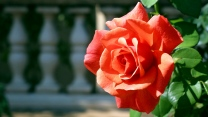 zweig knospe rose