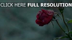 blume frost knospe rose