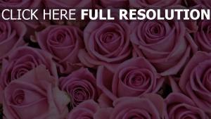 blume rosa knospe rose