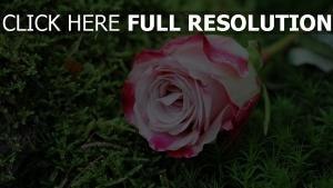 rosa gras knospe rose
