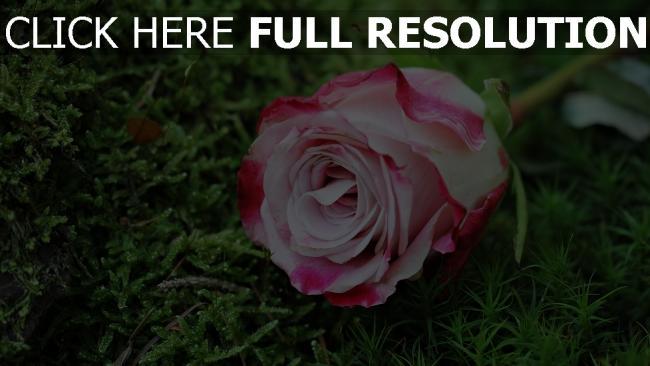 hd hintergrundbilder rosa gras knospe rose