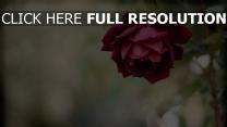 rot unschärfe knospe rose