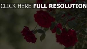 blüten knospen busch rose